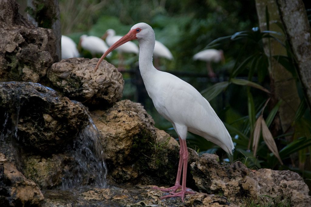 White Ibis at the waterfall in the Flamingo Island Exhibit.