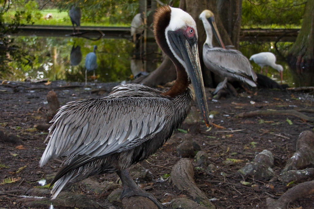 Lack of yellow crown feathers means that this Brown Pelican is a chick-feeding adult.