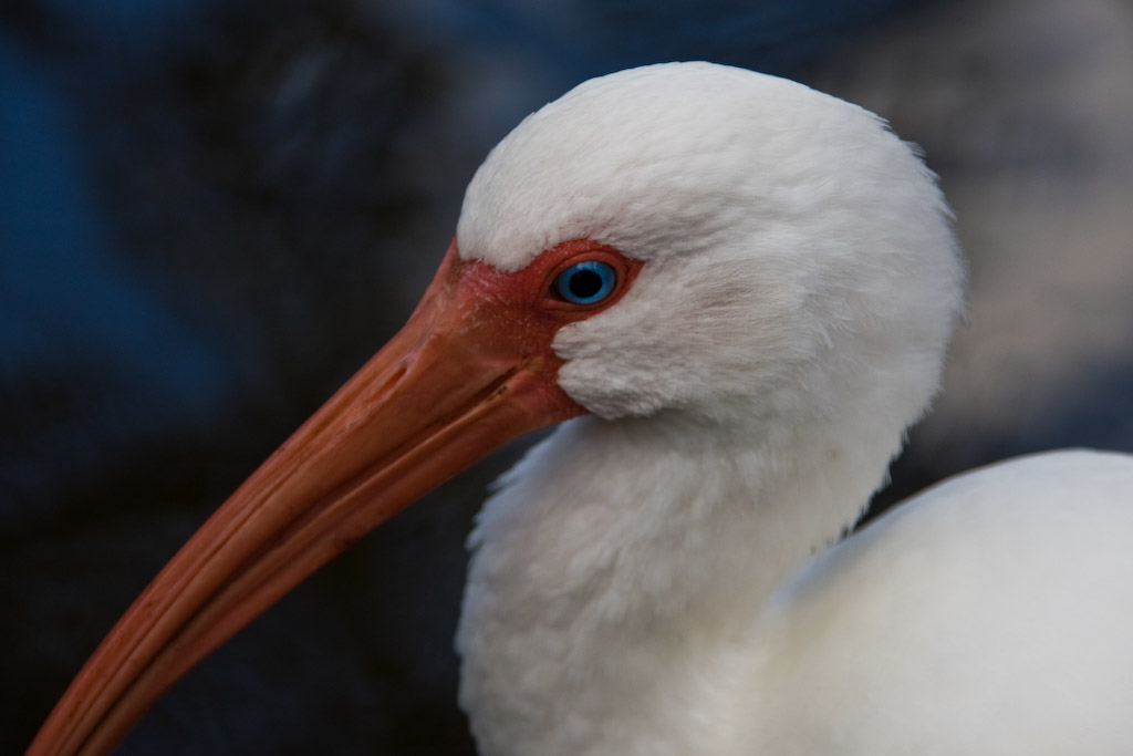 The White Ibis have beautiful blue eyes.