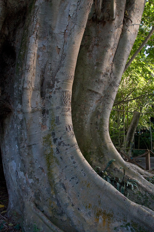 Older banyan trees are characterized by their aerial prop roots that grow into thick woody trunks.  With age, these prop roots can become indistinguishable from the main trunk.