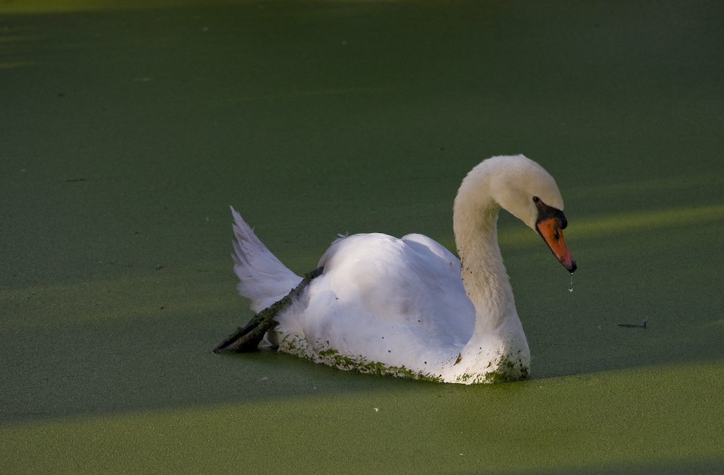 """Although usually silent, the Mute Swan is not really mute.  It is the quintessential swan, introduced from Europe - some speculate to give local ponds and lakes a """"royal"""" touch."""