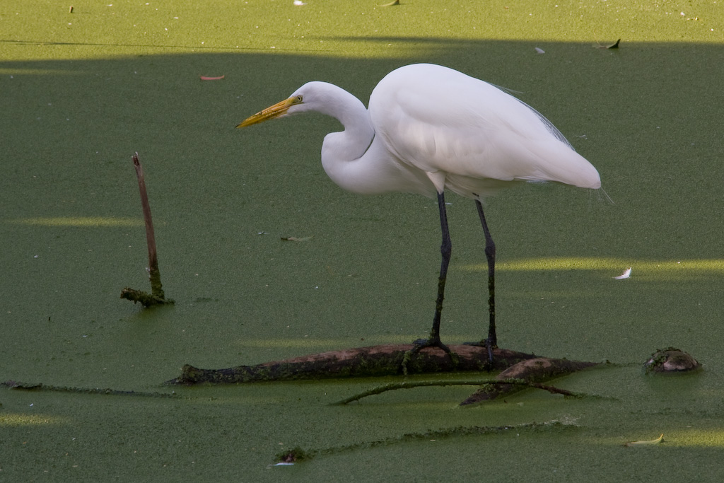 This Great Egret has its attention completely focused on something that it can sense moving under the duckweed - dinner perhaps!