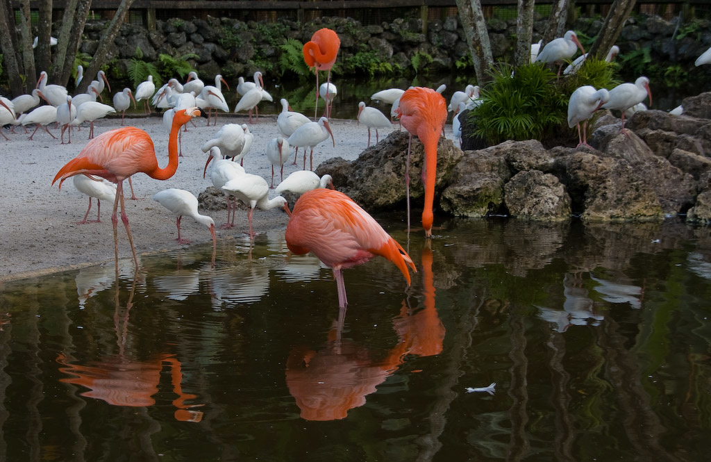 At the Flamingo Island Exhibit, Flamingo and White Ibis co-habitate.