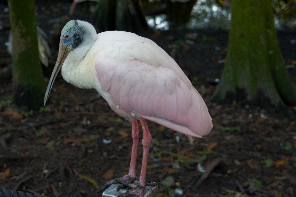 An immature Roseate Spoonbill - from this angle, it's distinctive bill is not as apparent.