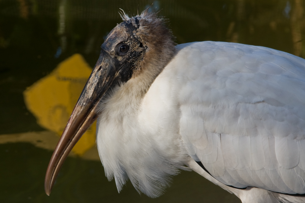Portrait of a Wood Stork.  Today's population of breeding pairs is approximately 5,000. While Wood Stork rookeries have been protected in recent years, it is the loss of feeding habitat that has dealt the blow to this species. It has been estimated that a pair of storks and their young require some 440 pounds of fish during the breeding season, so adequate feeding grounds are a necessity.