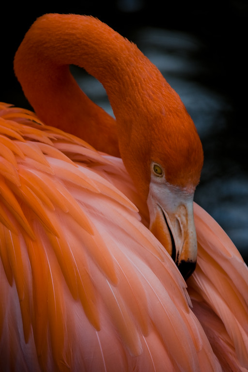 The name Flamingo comes from the Latin for flame.