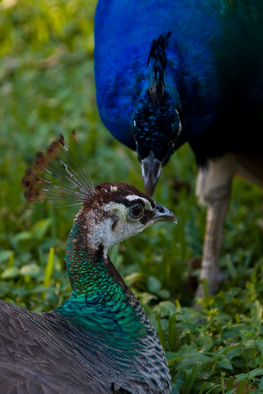 A Peacock comes calling on a Peahen.