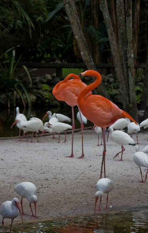 Flamingo and White Ibis at the Flamingo Island Exhibit.