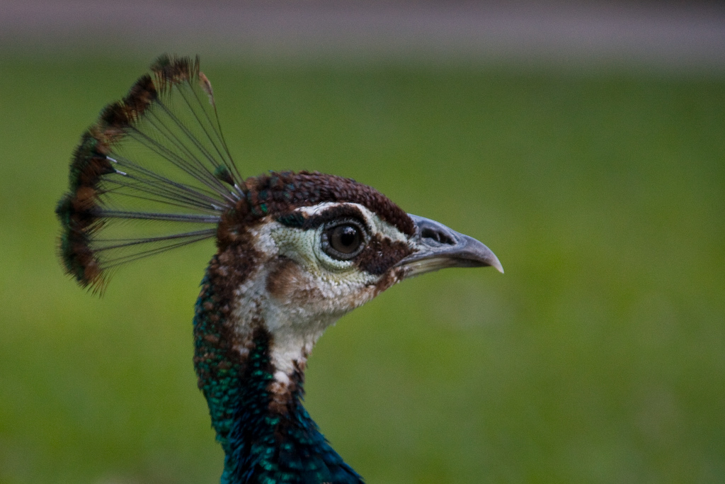 ... and a profile shot of a Peahen.