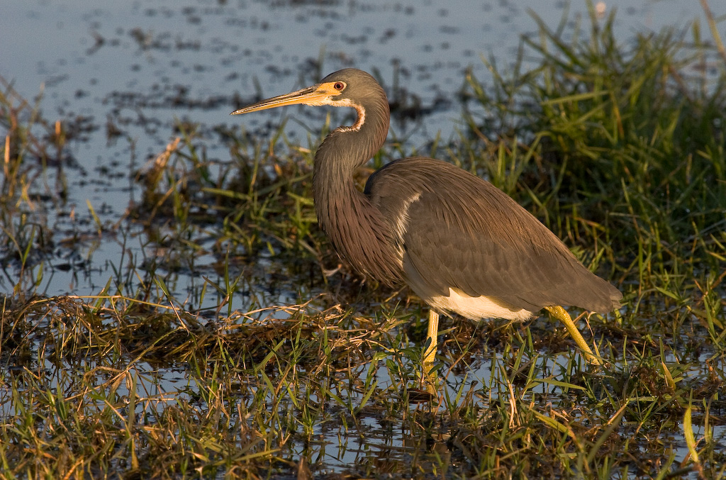 Tricolored Heron foraging near the boat ramp.