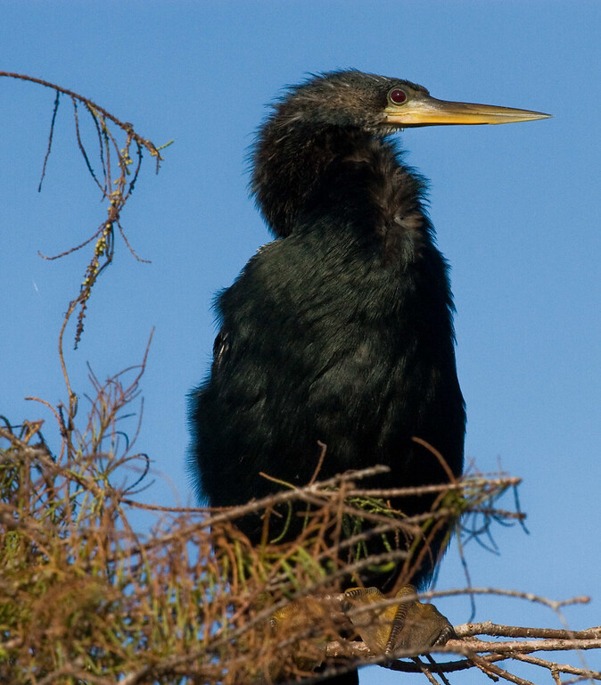 An Anhinga (male) perched on a tree by the pond.  The Anhinga are also known as snake birds and darters.