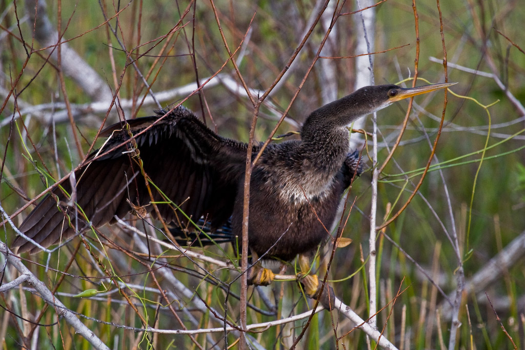 Tangled in the branches, the female Anhinga is trying to stretch out her wings to dry them in the sun.