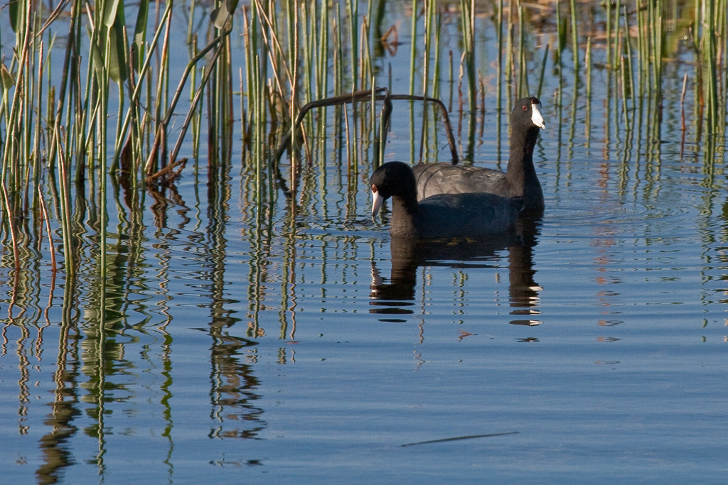 Pair of American Coots swimming lazily as they forage for breakfast.
