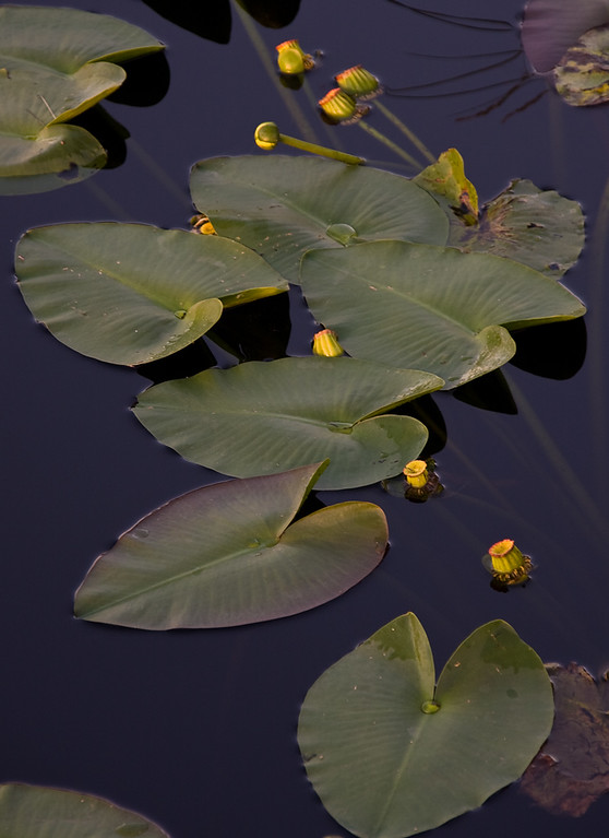 Spatterdock is a valuable plant for fish and wildlife habitats. Its large leaves provide shade, cover from predators, and a home for many tiny invertebrates which fish and birds use for food. The seeds are eaten by ducks and other birds, and muskrat, beaver, and nutria will eat the roots.