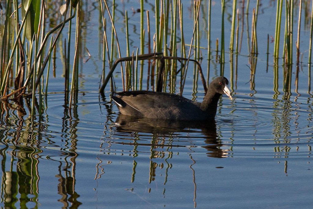 """Although it looks like a duck, the American Coot is actually a member of the moorhen family.  The Coot is also known as a """"Mud Hen."""""""