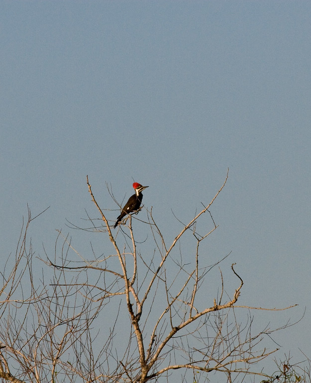 Here's what Mui's videotaping - a female Pileated Woodpecker.  I could certainly use a bigger lens now!