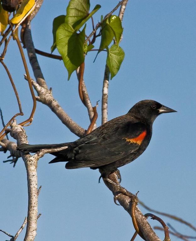 Red-Shouldered Black Bird