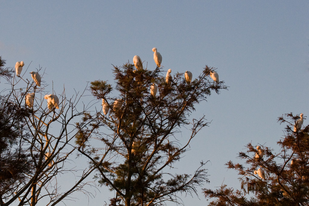 Egrets grooming themselves on a nearby tree.