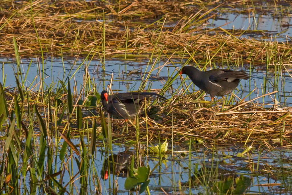 A pair of Common Moorhens.