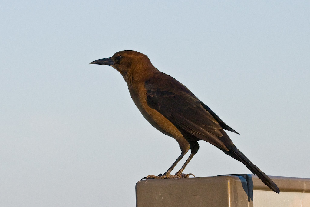 The female Boat-Tailed Grackle is nowhere near as colorful as the male.