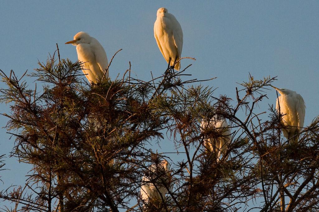 Cattle Egrets at sunrise.