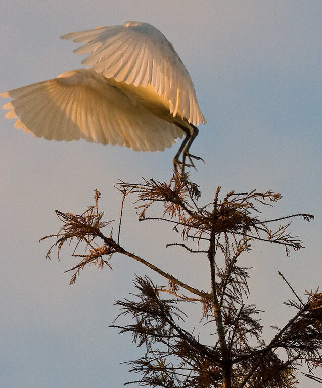 As though they received a signal, all of the egrets took off in a blur of flapping wings.  Here's the last one to leave.