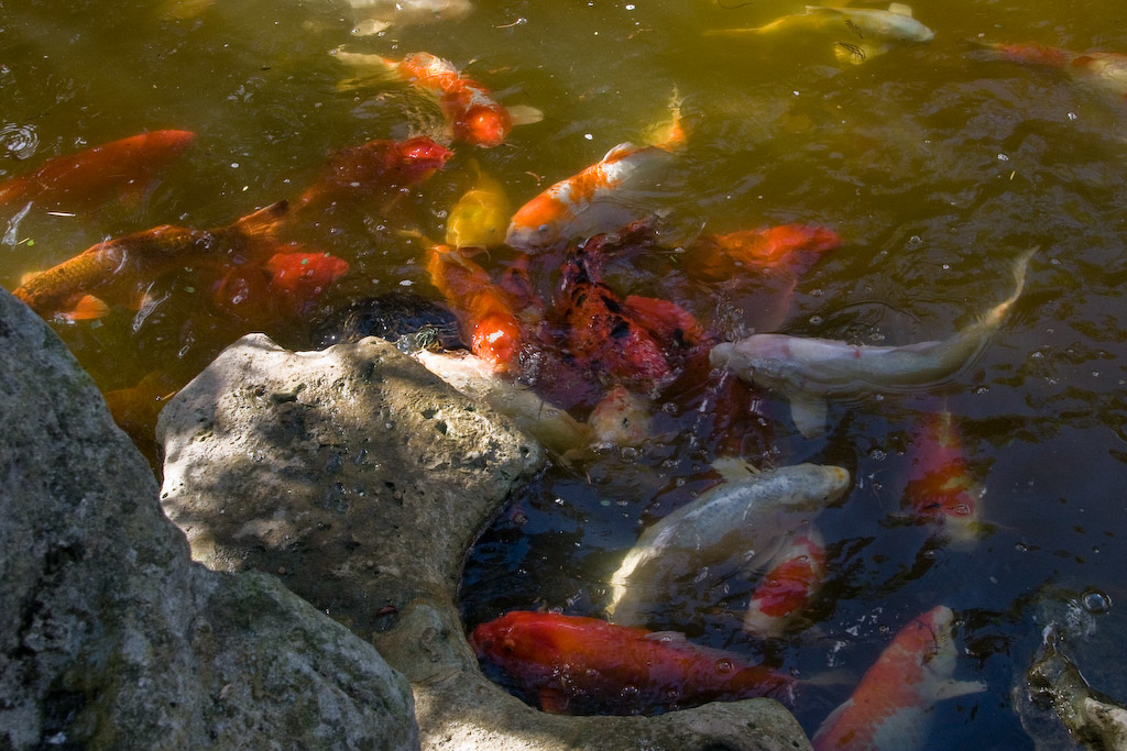 The water is teeming with colorful koi vying for the fish food visitors have thrown into the pond.