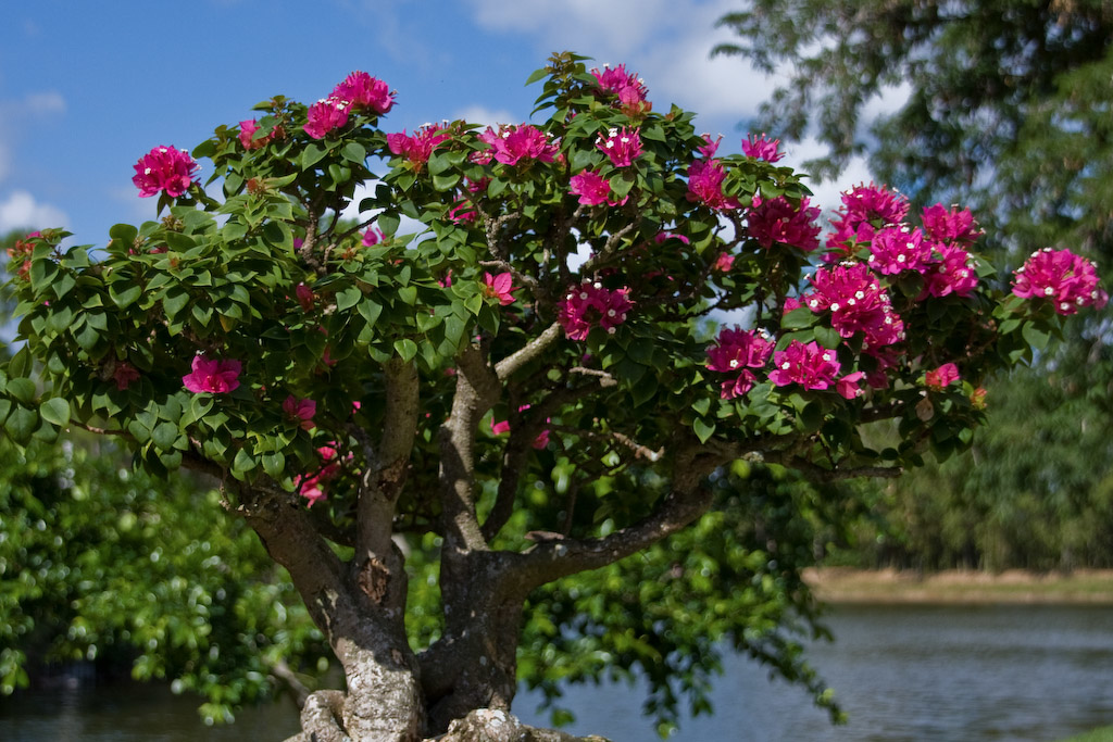 Bonsai created from a bougainvillea plant.  Bonsai, which literally means tray planting, are trees or groupings of trees artistically shaped and cultivated in a container.
