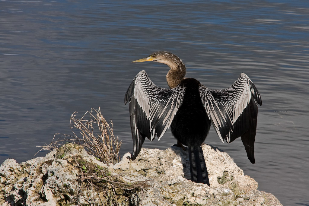 An Anhinga drying its wings on a rock near the shoreline of the lagoon.