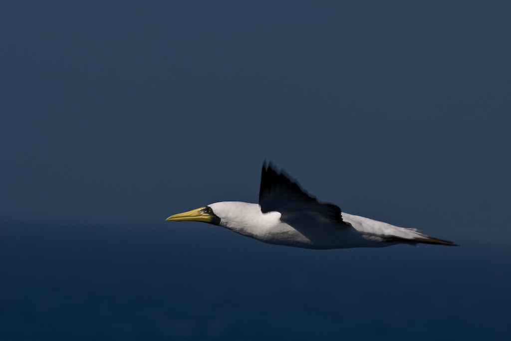"With the apparent blur of the wings, I think an appropriate name for this photograph would be ""Masked Booby in Flight."""