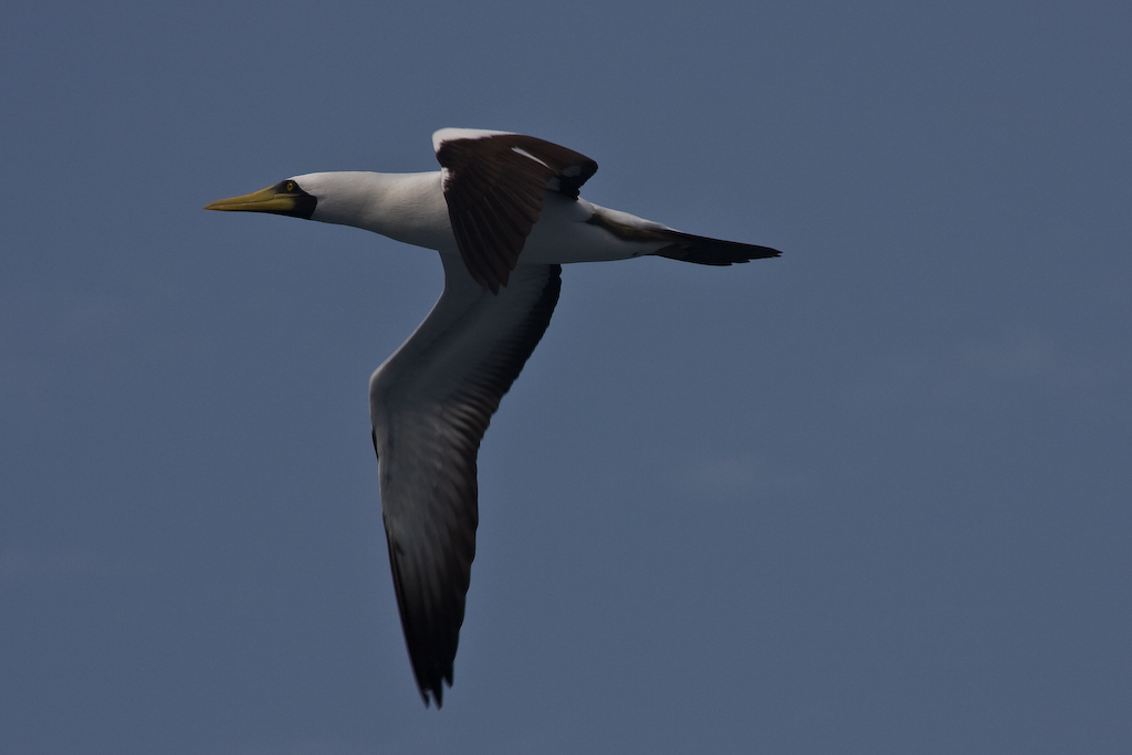 The Masked Booby breeds in the Bahamas and West Indies, and on other islands in tropical Atlantic, Indian, and Pacific oceans.