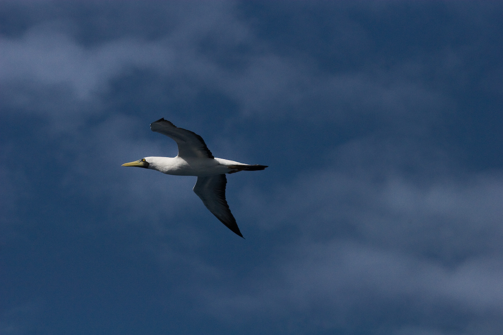 The Masked Booby is a fairly sedentary bird, wintering at sea, but rarely seen far from the breeding colonies.