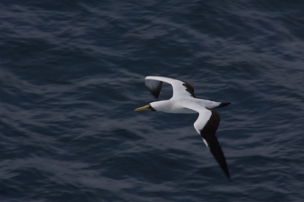 Looking down on a Masked Booby, it's apparent that the black markings around the eyes is how the bird got its name.