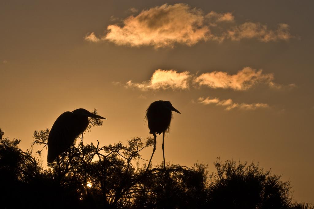Wakodahatchee Wetlands, Delray Beach, Florida:<br /> Pair of Great Blue Herons at sunset.