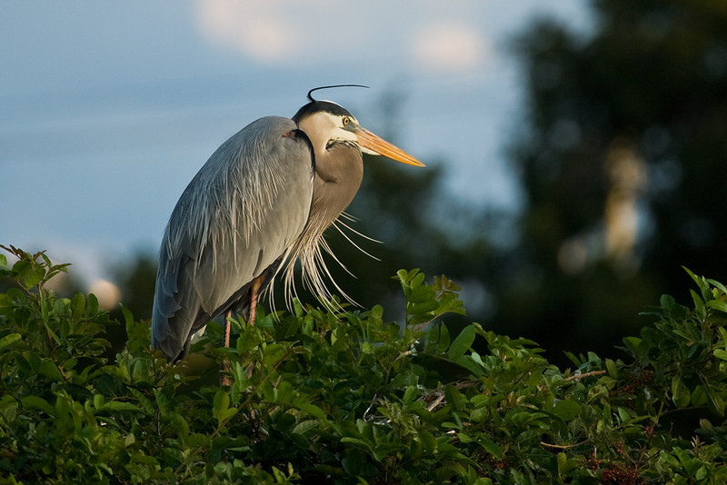 Wakodahatchee Wetlands, Delray Beach, Florida:<br /> Bad hair day for a Great Blue Heron.