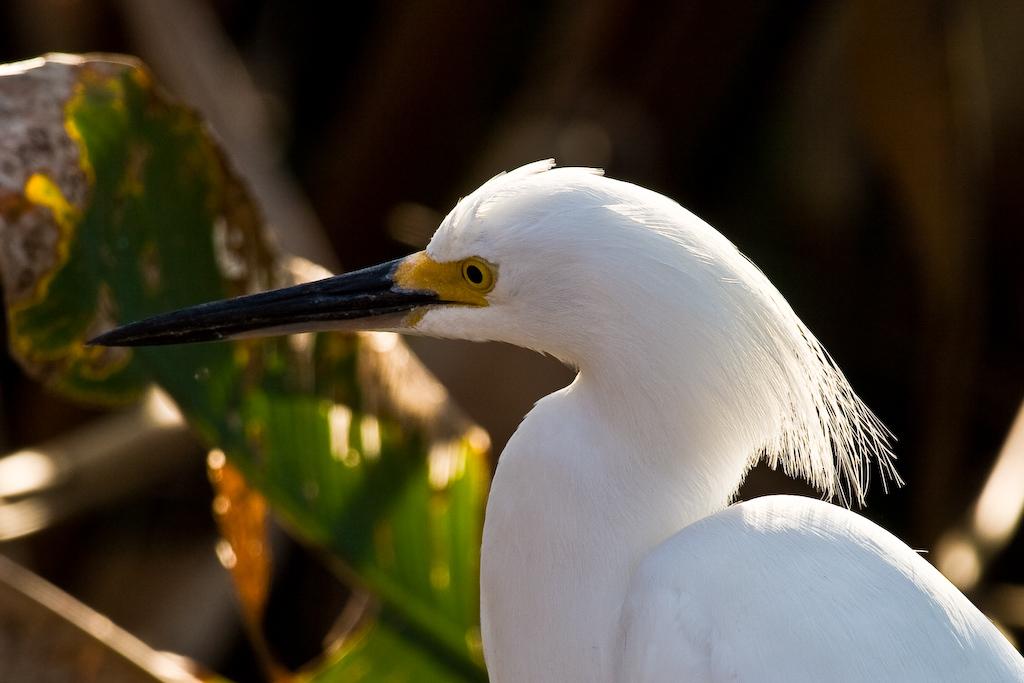 Wakodahatchee Wetlands, Delray Beach, Florida:<br /> Portrait of a Snowy Egret.