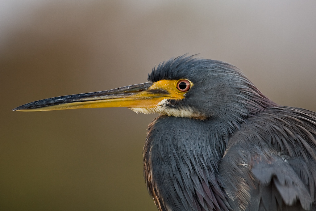 Wakodahatchee Wetlands, Delray Beach, Florida:<br /> Portrait of a Tricolored Heron.