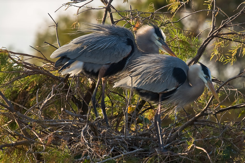 Wakodahatchee Wetlands, Delray Beach, Florida:<br /> A pair of Great Blue Herons on the nest.