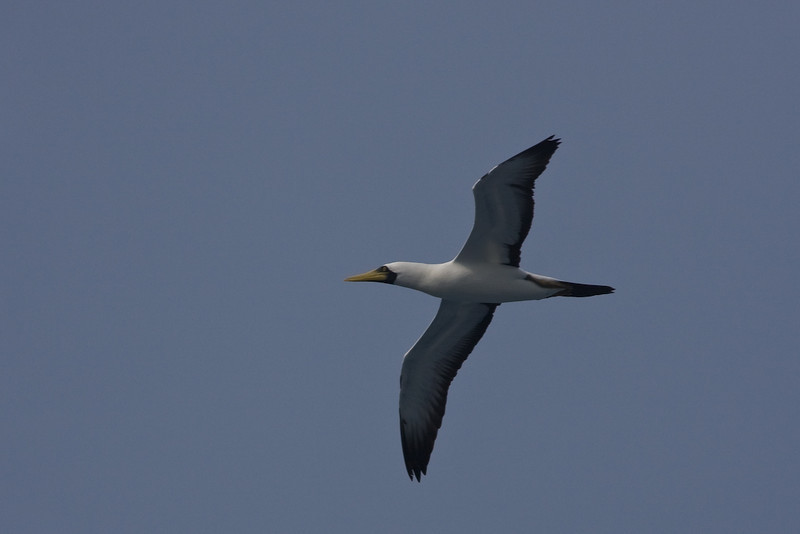 Caribbean Sea (offshore from Aruba):<br /> Masked Booby in flight.
