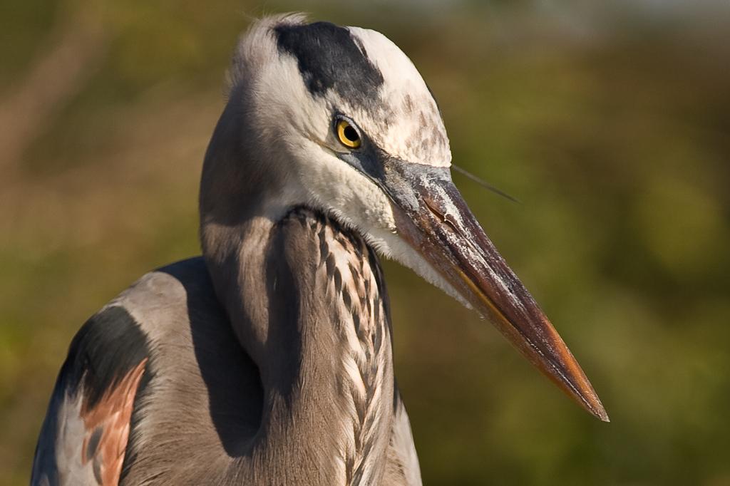 Wakodahatchee Wetlands, Delray Beach, Florida:<br /> Portrait of a Great Blue Heron.