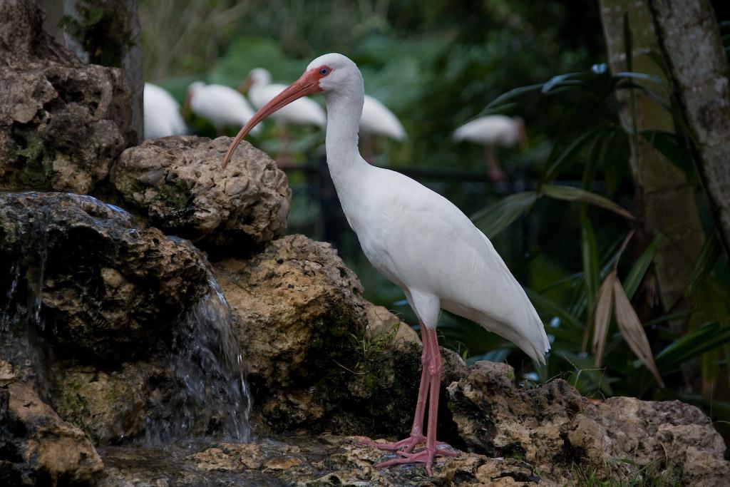 Flamingo Gardens, Davie, Florida: <br /> White Ibis at the waterfall in the Flamingo Island Exhibit.