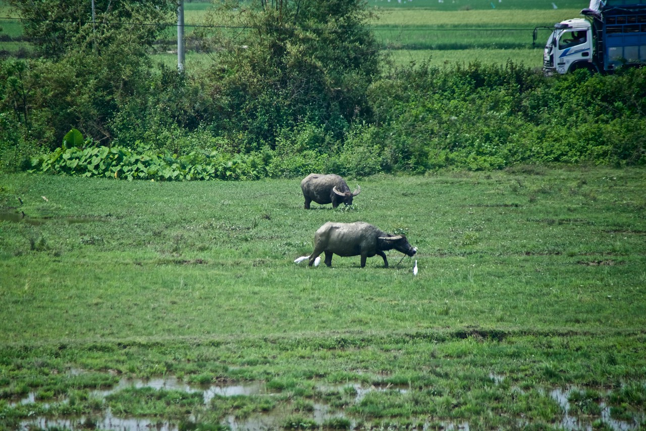 Water buffalo in the rice paddy. (from bus)