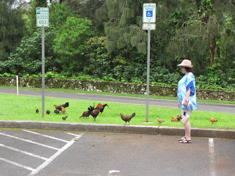 Sheila visits a flock of feral chickens in the parking lot.