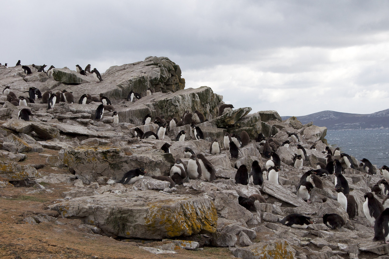Rock Hopper Colony2011-01-1411-19-37
