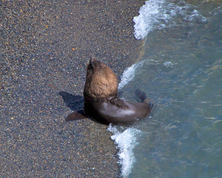 Hairy Sea Lion2011-01-1610-49-14