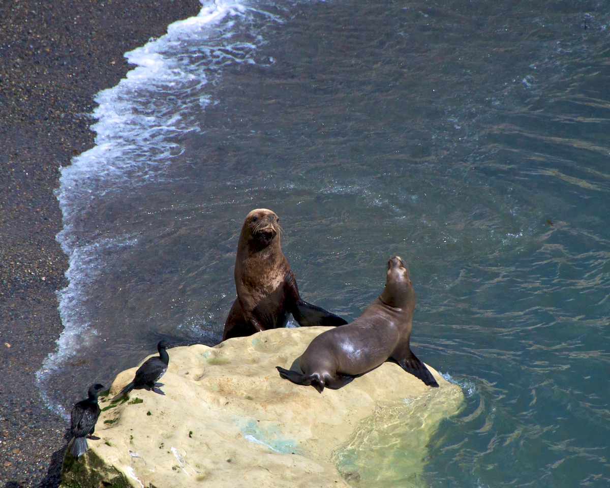 Sea Lion Pair2011-01-1610-34-46