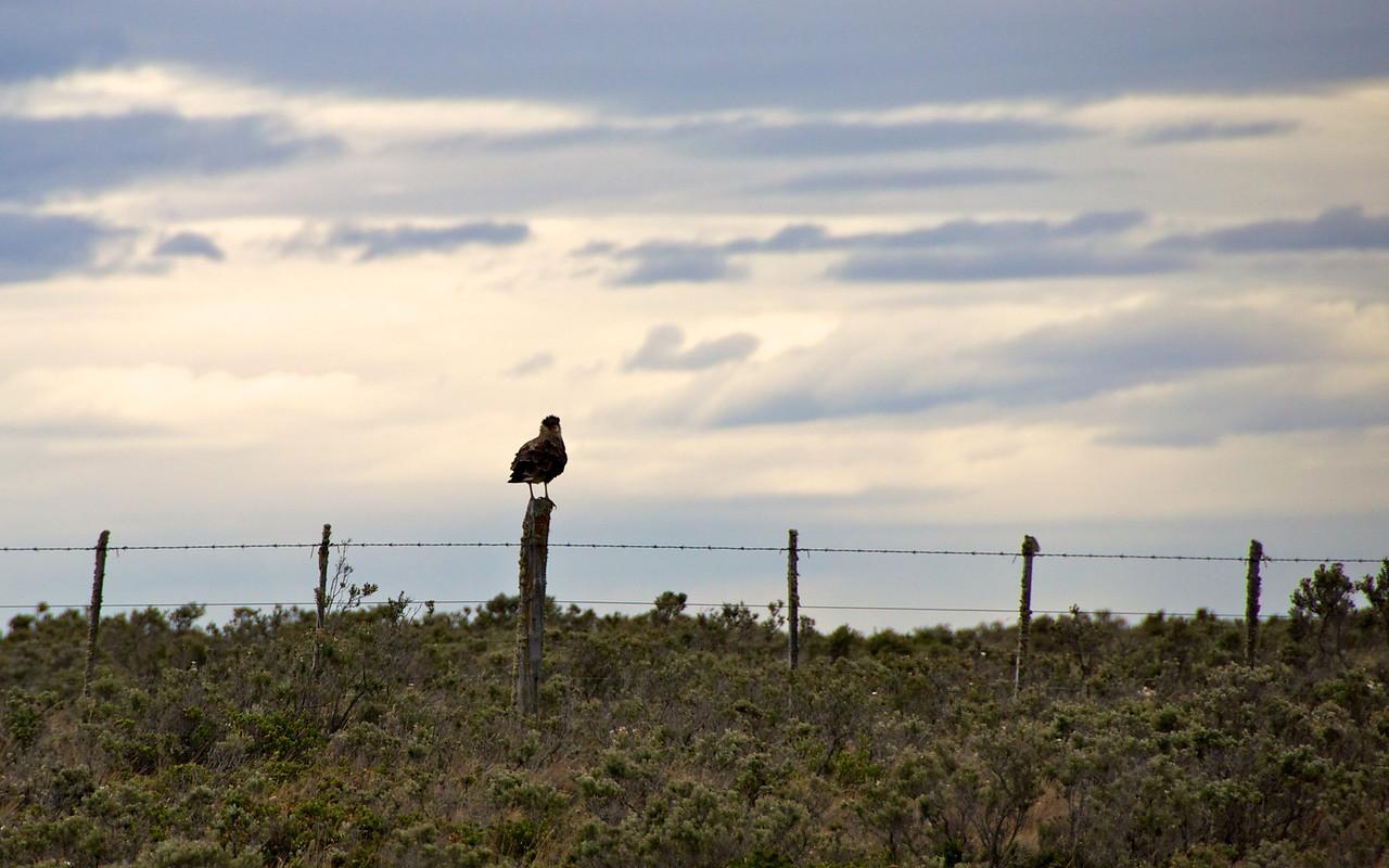 Southern Crested Cara Cara2011-01-1112-30-51