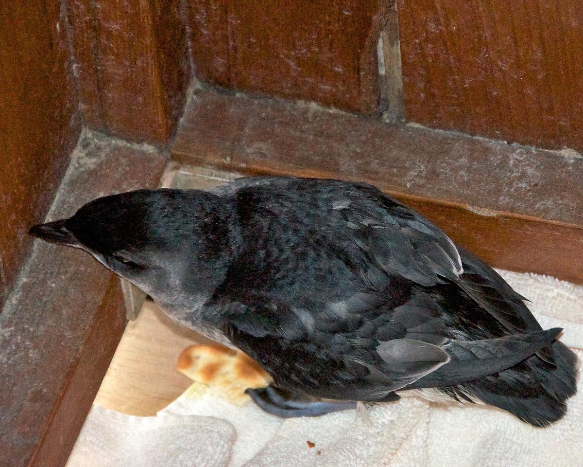 Baby Penguin2011-01-1011-35-21