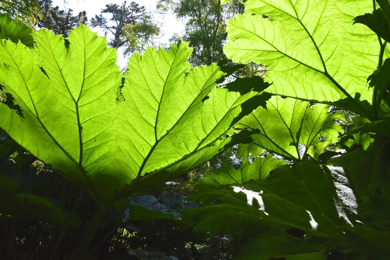 Massive Leaves of Gunnera Plants