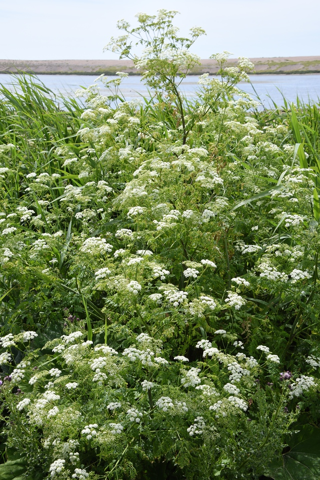 Because of The Winter and Spring Rain The Queen Anne's Lace Was Flourishing All Over The Dorset Countryside